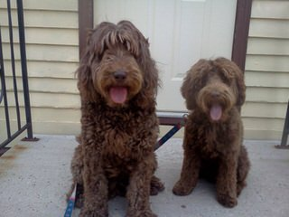 Aspen Ridge Labradoodles - Dog Breeders