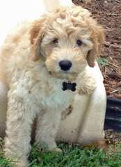 Southern Charm Labradoodles - Dog Breeders