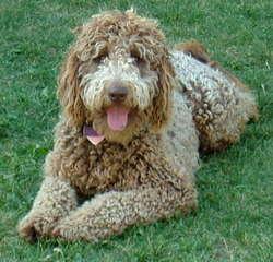 West Orchard Labradoodles - Dog Breeders