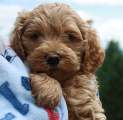 St. Clair Labradoodle Kennels - Dog Breeders