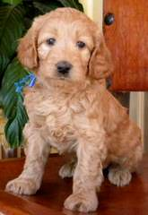 Oregon Coast Labradoodles - Dog Breeders