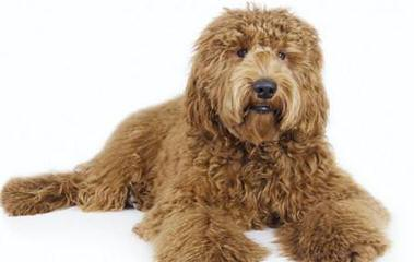 Black Canyon Labradoodles - Dog Breeders