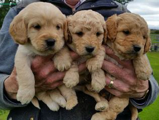 Sierra Vista Labradoodles - Dog Breeders