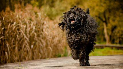 Spring Creek Labradoodles & Goldendoodles - Dog Breeders