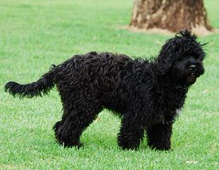 Whispering Winds Labradoodles - Dog Breeders