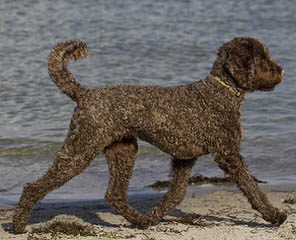 Labradoodles By Janda Specializing In Red Doodles - Dog Breeders