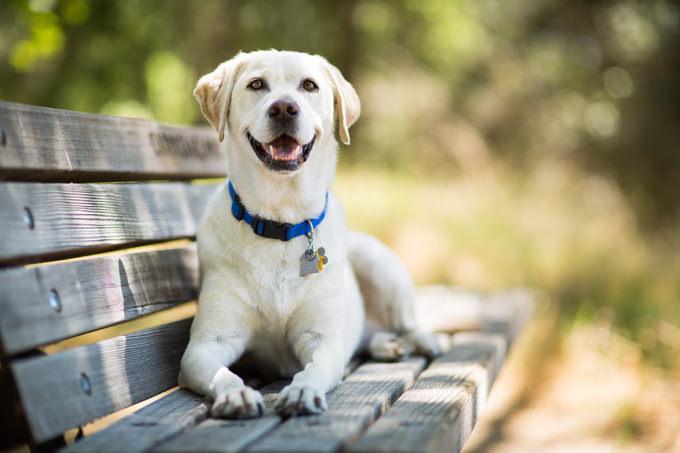 Labrador Retriever Dogs and Puppies
