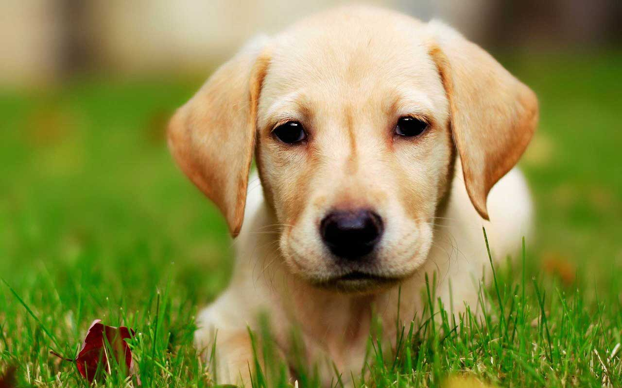 Labrador Retriever Dogs and Puppies