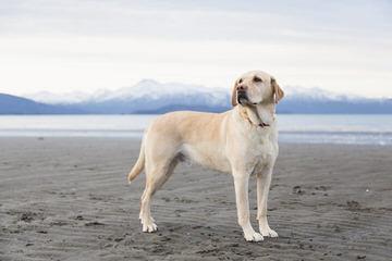 Cameswon Labradors - Dog Breeders