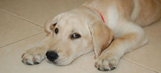 dr hastings labs - Dog Breeders