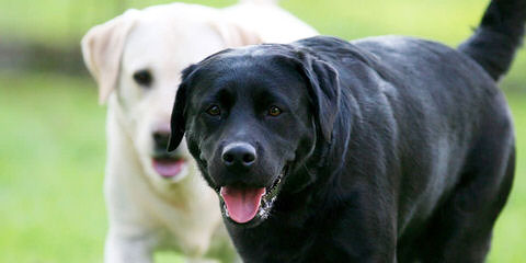 Silver And Charcoal Labs - Dog Breeders