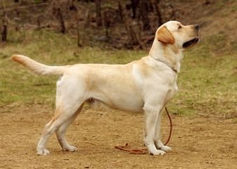 Queens Royal Labradors - Dog Breeders