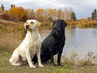 R&D Retrievers - Dog Breeders