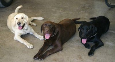 Dusty Road Labradors - Dog Breeders