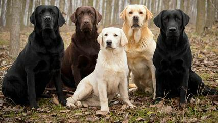 South East Loyal Labs - Dog Breeders