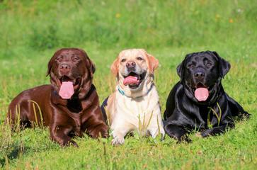 Labrador Retriever – Manchester Labradors - Dog Breeders