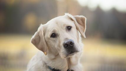 Akc White Lab Puppies - Dog Breeders