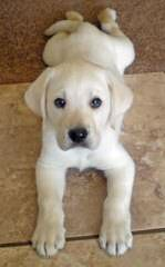 View Slideshow Pups / Stud Service/Akc, Ofa, Cerf - Dog Breeders