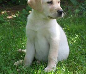 Dutch Acres Labradors - Dog and Puppy Pictures