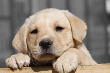 Oak hammock labs - Dog Breeders