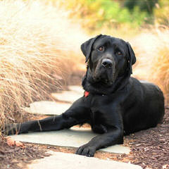 Silver Labs R Us - Dog Breeders