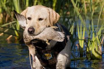 Riorock Labradors - Dog Breeders
