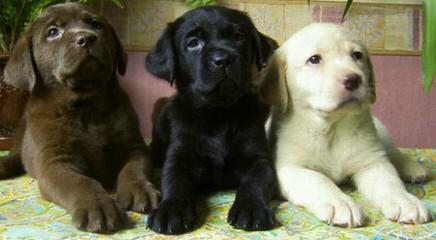 Mateer Labrador Retrievers - Dog Breeders