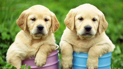 Green Collar K-9 Development - Dog and Puppy Pictures