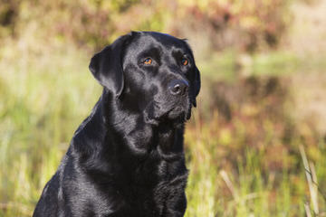 Ellendale Labradors - Dog and Puppy Pictures