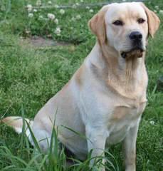 Wintergate Labradors - Dog Breeders