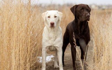 Dusty Road Labradors - Dog Breeders