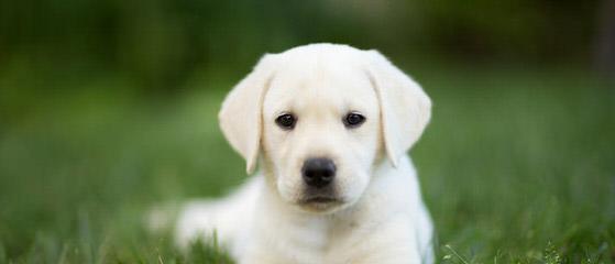 MoonLit Labradors - Dog Breeders