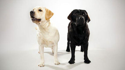 Riorock Labradors - Dog and Puppy Pictures