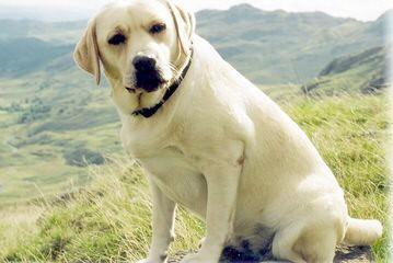 Pine Ridge Labradors - Dog Breeders