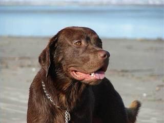 Ellendale Labradors - Dog Breeders