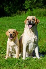 Startop Labradors - Dog Breeders