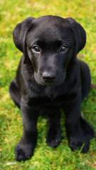 Legacy Labradors.. English Labrador Retrievers With A History Of Distinction . - Dog Breeders