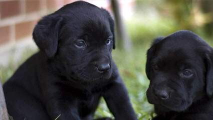 Bluesouth Labradors - Dog Breeders