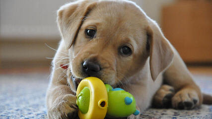 Formaro Labradors - Dog and Puppy Pictures
