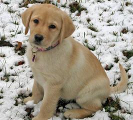 Formaro Labradors - Dog Breeders