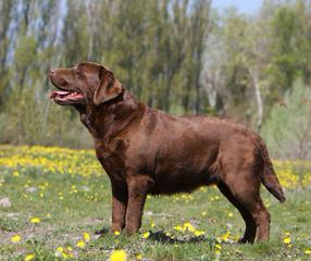 Wintergate Labradors - Dog Breeders