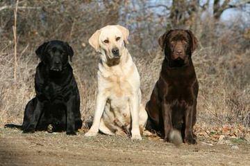 Westphal retrievers - Dog Breeders