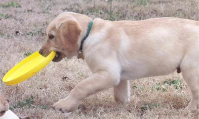 R&D Retrievers - Dog and Puppy Pictures