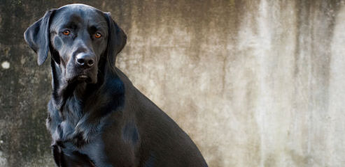 Mateer Labrador Retrievers - Dog Breeders