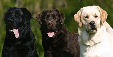 Leishmans Loveable Labs - Dog Breeders
