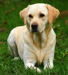 Startop Labradors - Dog and Puppy Pictures