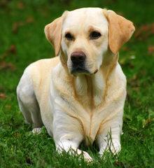 English Chocolate Labrador Breeder - Dog Breeders