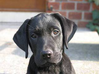 Valley Labradors - Dog and Puppy Pictures