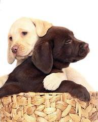 Winter Valley Labs - Dog Breeders