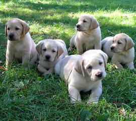 South East Loyal Labs - Dog and Puppy Pictures